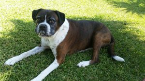 Boxer Lucy from Brisbane had fun during a recent Dog minding visit