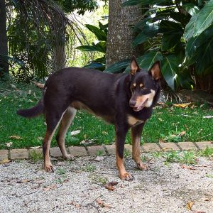 Buddy the Kelpie from Tumbulgum has a great coat and lives on a large sugar cane farm