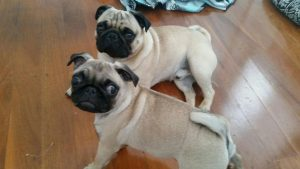 Pugs Mario and Frankie from Dubbo stayed with Team Member Emily and her Family at Tweed Heads during their recent Dog Minding visit