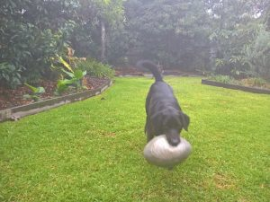Brucie fromKingscliff is obsessed with his footy and i had a lot of fun kicking it to him on our recent Pet Sitting visits