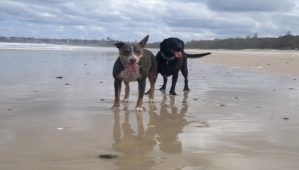 Pepper and Scout love Kingscliff Beach