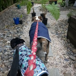 Henry and Bundy from Nunderi love our Pet Sitting visits and walks around the neighbourhood
