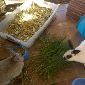 Peter and Ziggy Rabbit from Bilambil Heights have a great pen and lots of love from their Family