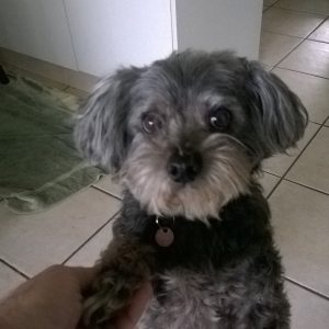 Little Zoot from Brisbane loves our Dog Minding Service